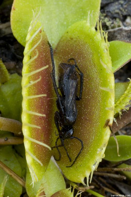 Kwikku, Dionaea