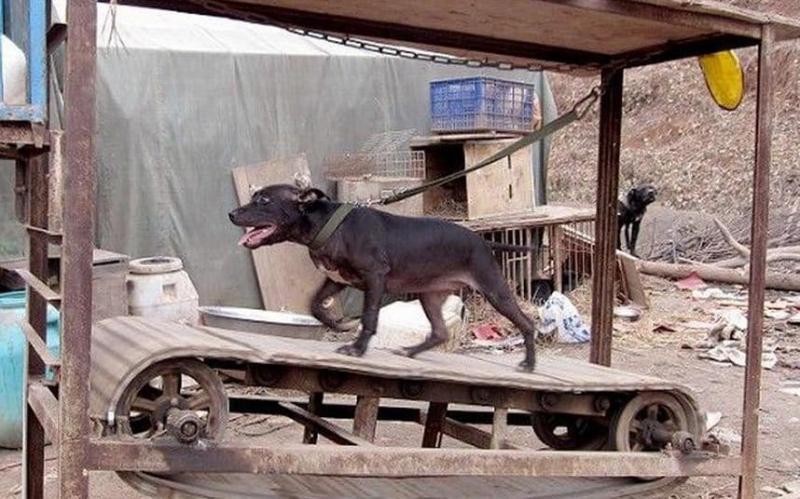 Kwikku, Tredmill Anjing