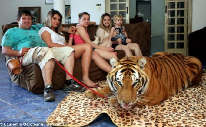 Kwikku, Memelihara Harimau