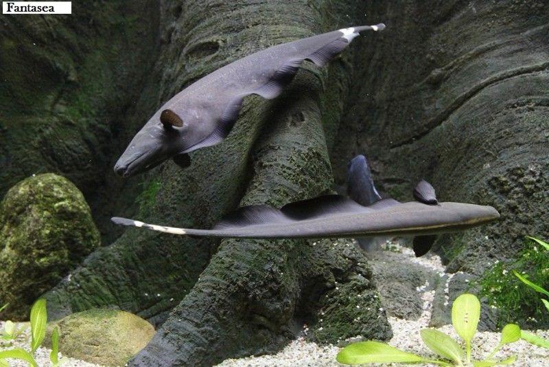 Kwikku, Black Ghost Knife Fish