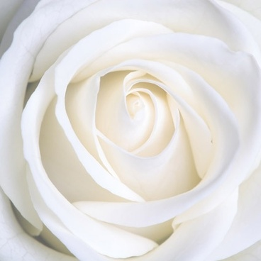Kwikku, Mawar Putih