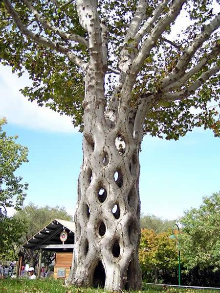 Kwikku, Apakah memang ada pohon dengan jenis seperti ini bisa membentuk pagar begitu ya