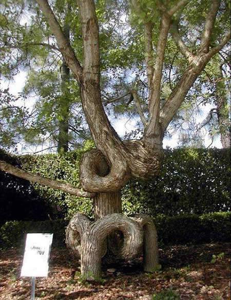 Kwikku, Ada yang tahu kenapa batang pohon ini bisa membentuk lekukan misterius
