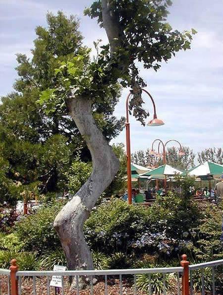 Kwikku, Pohon zig zag boleh nih kalau ada yang mau manipulasi seperti ini