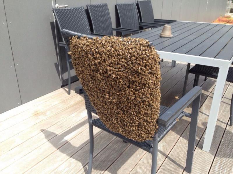 Kwikku, Wah Bakal sulit banget para pekerja yang harus mengusir sekelompok lebah ini