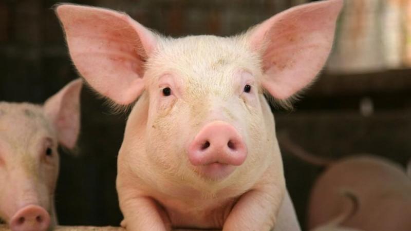 Kwikku, Orang Korea percaya bahwa mimpi babi adalah pertanda akan mendapatkan keberuntungan di masa depan