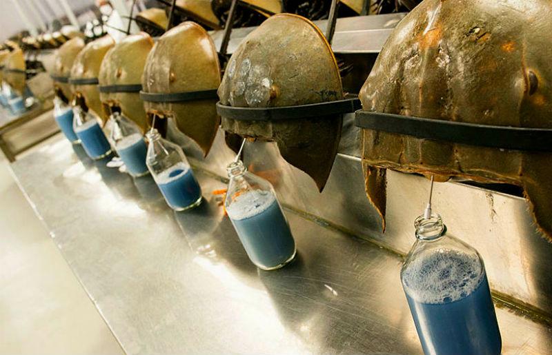 Kwikku, Darah kepiting Horseshoe menjadi yang termahal ke dengan taksiran Rp  juta Cairan berwarna biru dari kepiting unik tersebut diklaim bisa menentukan suatu produk sudah terkontaminasi atau tidak