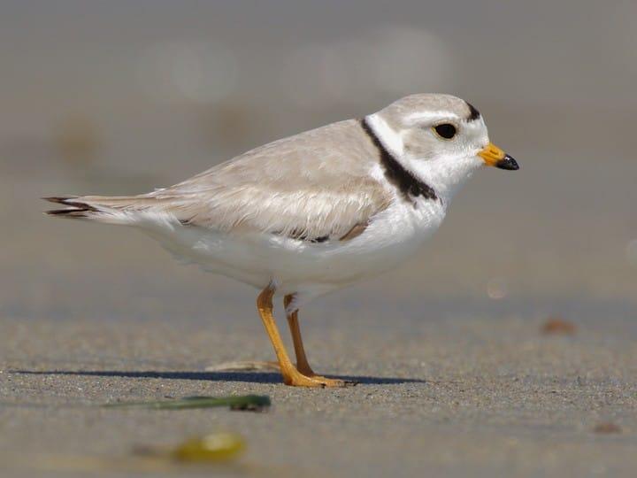 Kwikku, Burung plover yang berhabitat di area rawa melakukan migrasi saat musim semi dan musim gugur dengan menempuh perjalanan  km Selama terbang mereka nggak makan loh