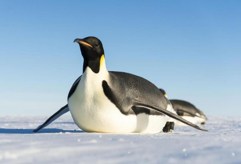 Kwikku, Penguin kaisar yang berjenis kelamin jantan tidak makan saat mereka bertugas mengerami telur selama  bulan