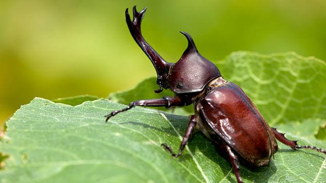 Kwikku, Kumbang jantan berdiam diri di puncak gunung saat musim dingin tiba Selama itu kumbang jantan juga tidak makan untuk sementara waktu
