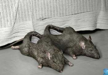 Kwikku, Mice Shoes Aduh gak bisa dibayangin deh Geli pasti