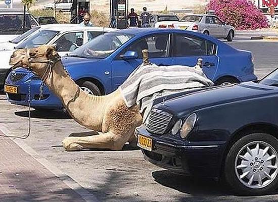Kwikku, Camel Parking Area wkwkwk