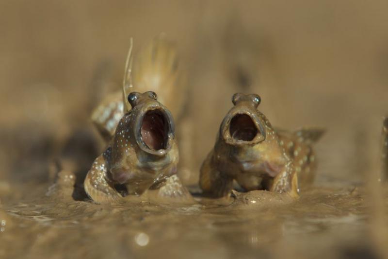 Kwikku, Mudskippers Got Talent oleh Daniel Trim