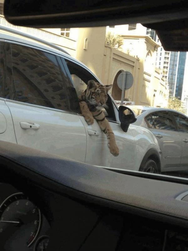Kwikku, Harimau jadi hewan peliharaan penduduk Dubai