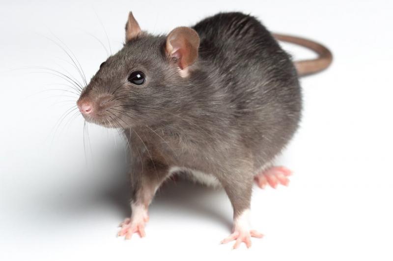 Kwikku, Tikus