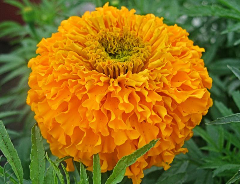Kwikku, CalendulaMarigold