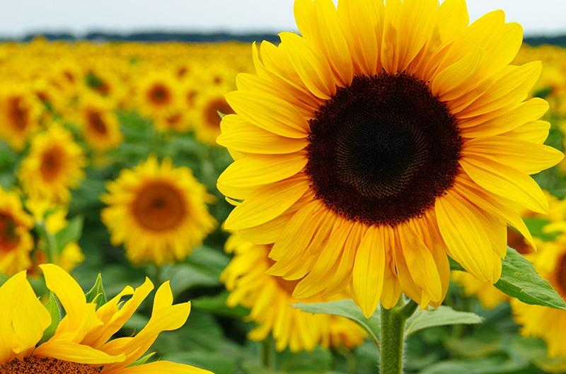 Kwikku, Bunga Matahari