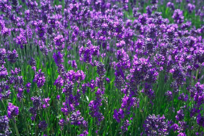 Kwikku, Lavender