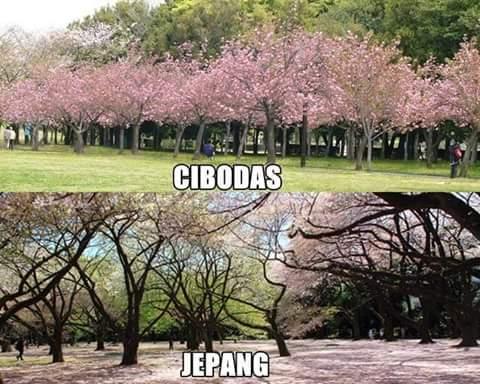 Kwikku, Cibodas VS Jepang