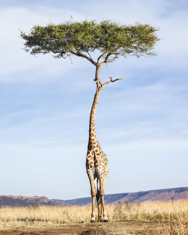 Kwikku, Tree Giraffe jerapah berkepala pohon