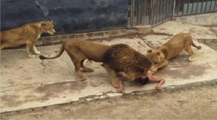 Kwikku, Seorang Pria Melompat ke Kandang Singa karena Jengkel Diomeli Istrinya