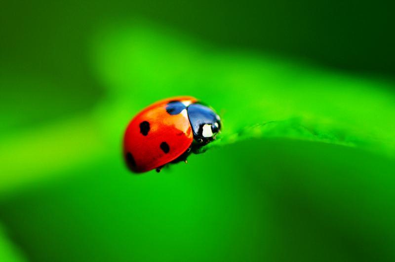 Kwikku, Kumbang KoksiKepik
