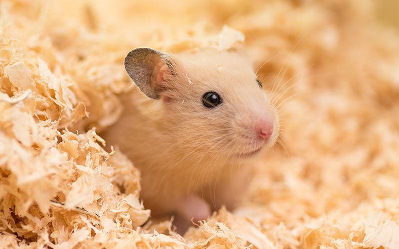 Kwikku, Hamster