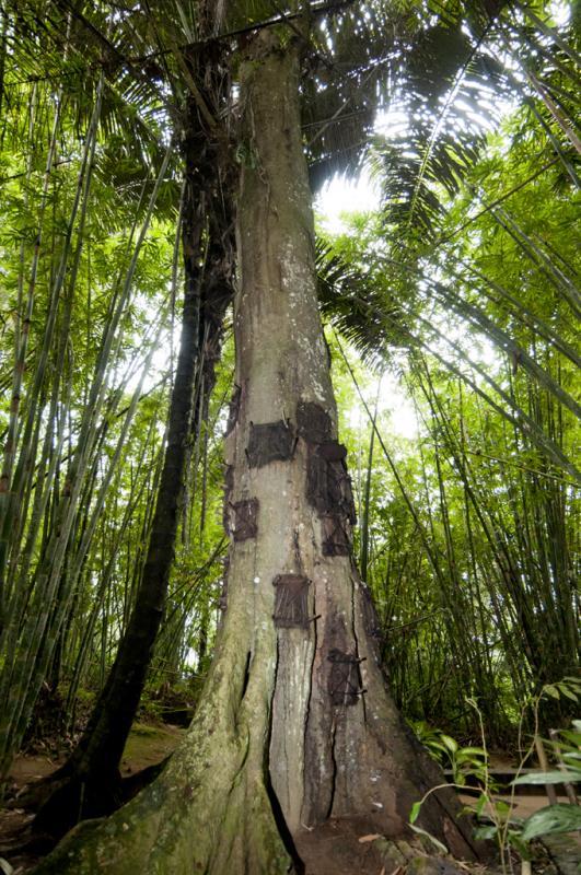 Kwikku, Pohon Tarra Dikenal sebagai Pohon dengan Banyak Getah