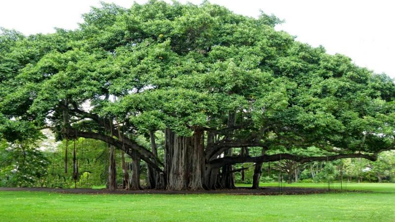 Kwikku, Jangan Menebang Pohon Beringin Sembarangan