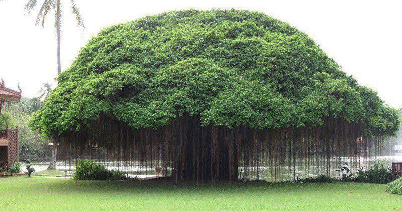 Kwikku, Jangan Kencing di Pohon Beringin