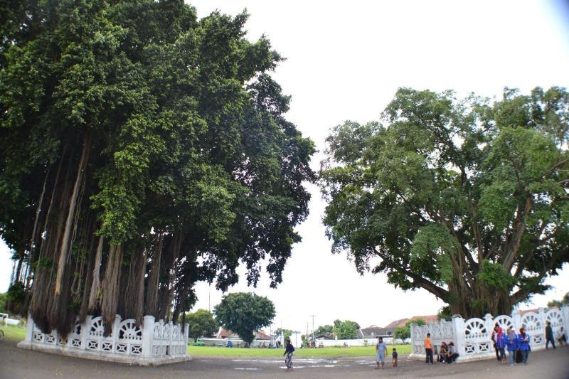 Kwikku, Beringin di Yogyakarta Bisa Membuatmu Ketemu Jodoh