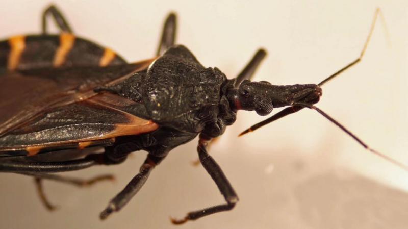 Kwikku, Serangga Penghisap DarahKissing Bug