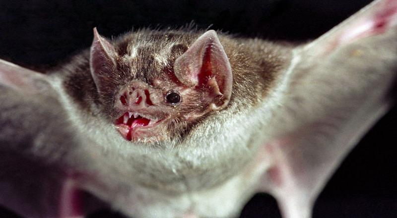 Kwikku, Kelelawar Vampir