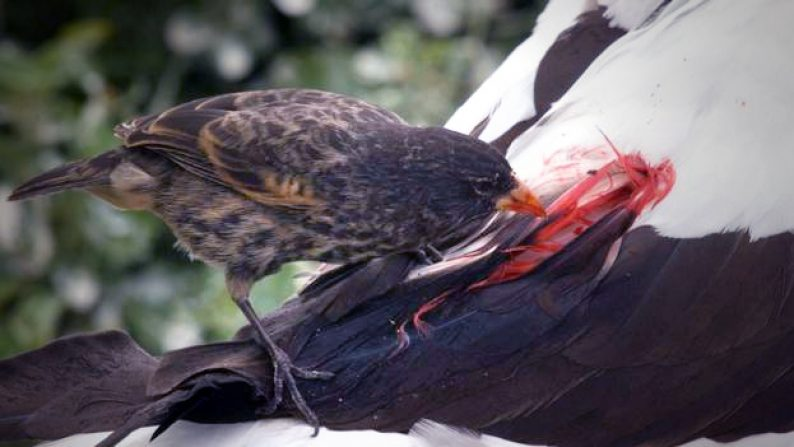 Kwikku, Burung Finch