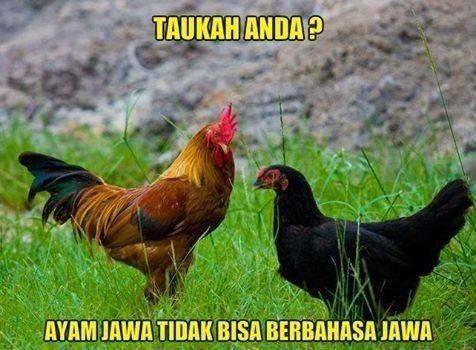 Kwikku, Walau namanya ayam jawa tetapi menurut penelitian ternyata ayam jawa gak bisa bahasa jawa sob