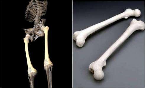 Kwikku, Tulang Manusia