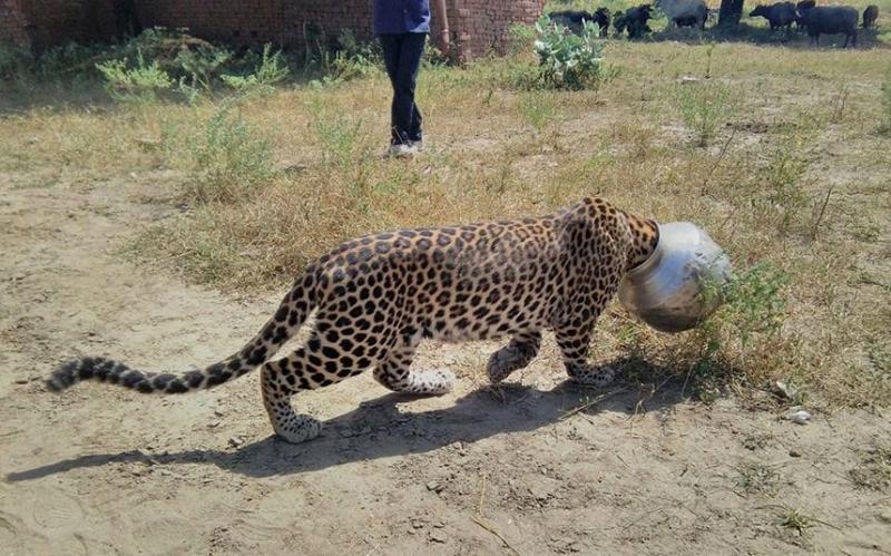 Kwikku, Kirain macannya udah kehilangan kepalanya eh taunya malah terjebak di dalam panci kepalanya hahaha Nakal sih