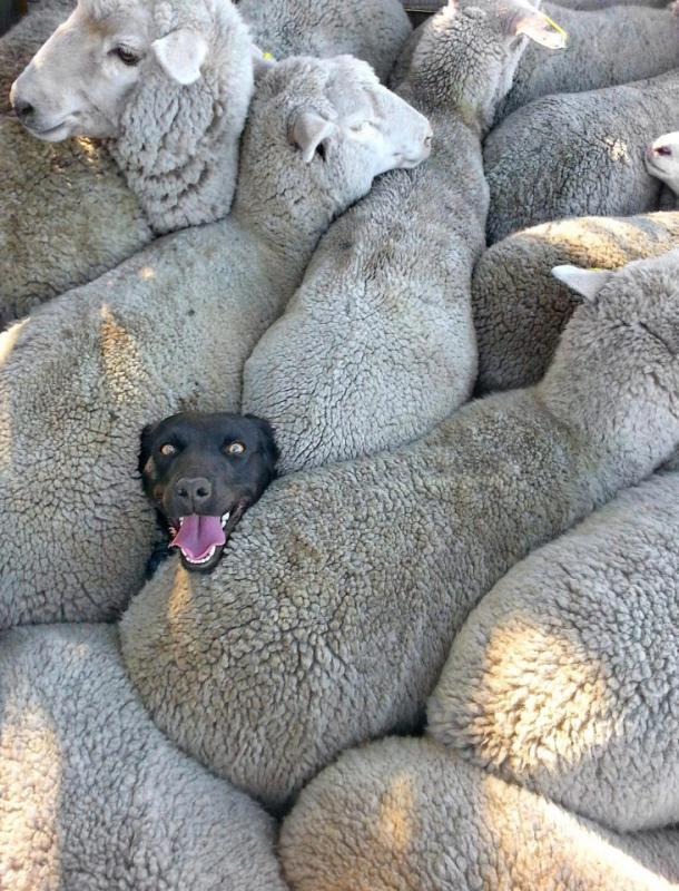 Kwikku, Aduh njing gimana ceritanya sih bisa kejebak diantara para domba gitu Dikasih pantat pula sama dombadombanya Hahaha Kasian banget