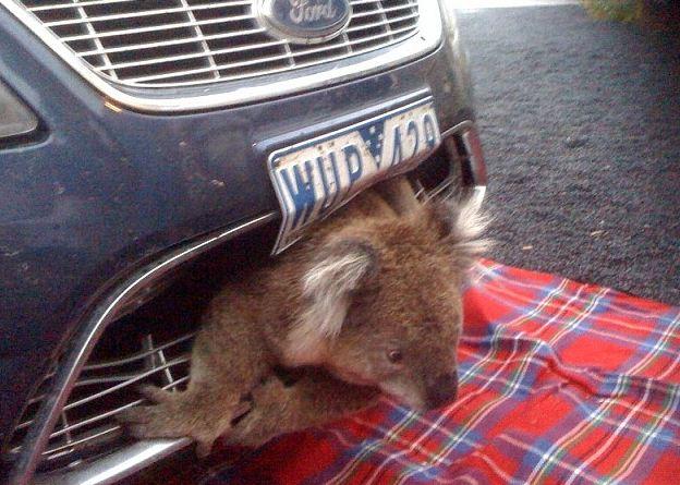 Kwikku, Wajah si koala yang nyangkut di mobil ini bikin kasian ngeliatnya