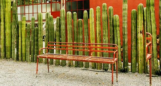 Kwikku, Pagar kaktus