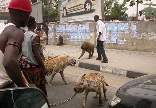 Kwikku, Inilah binatang peliharaan penduduk Zimbabwe