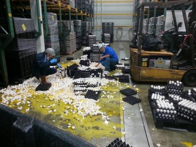 Kwikku, Keapesan yang terjadi di pabrik telur Silahkan berjuang