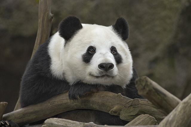 Kwikku, Fakta mengejutkan bahwa ternyata semua panda yang ada di seluruh dunia memiliki status sewaan dari Negara China Negara satusatunya yang memiliki spesies panda di habitatnya
