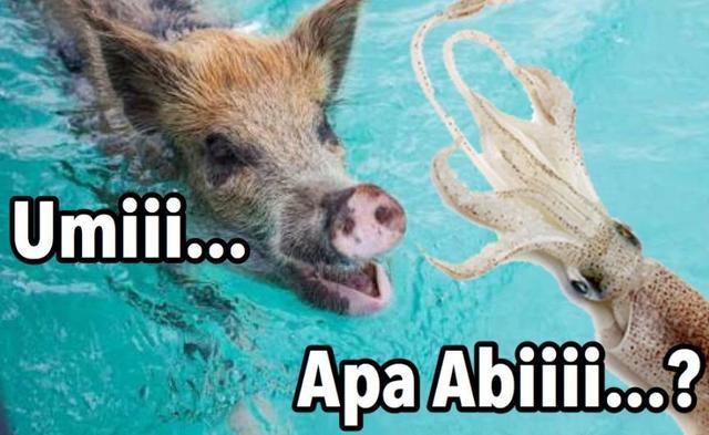 Kwikku, Ketika babi ketemu cumi