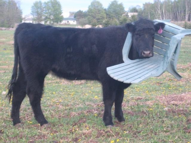 Kwikku, Si sapi sepertinya sedang mengalami hari paling buruk selama hidupnya didunia Kalian bisa lihat sendiri dari ekspresi mukanya