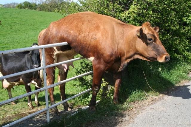 Kwikku, Aduuuuh mungkin sapi yang satu ini berfikir kalau dia adalah seekor kuda yang bisa melompat melewati pagar dengan mudah wkwkwkwk Akhirnya jadi terjebak kayak gitu Dasar sapiiiii