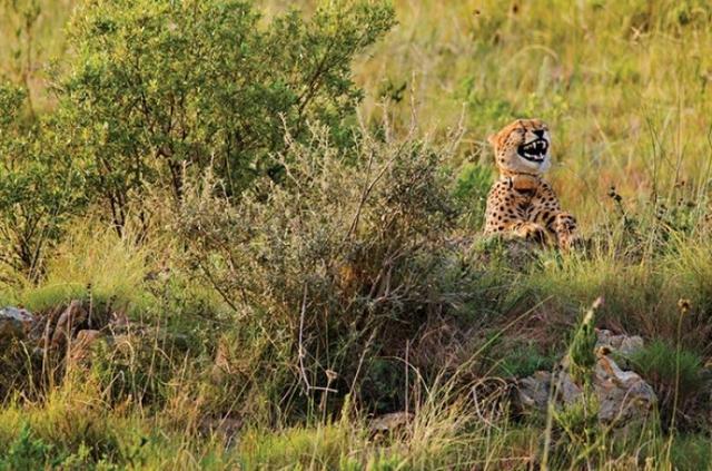 Kwikku, Inilah ekspresi cheetah ketika sedang tertawa terbahakbahak wkwkwkwk