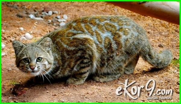 Kwikku, Andean Mountain Cat