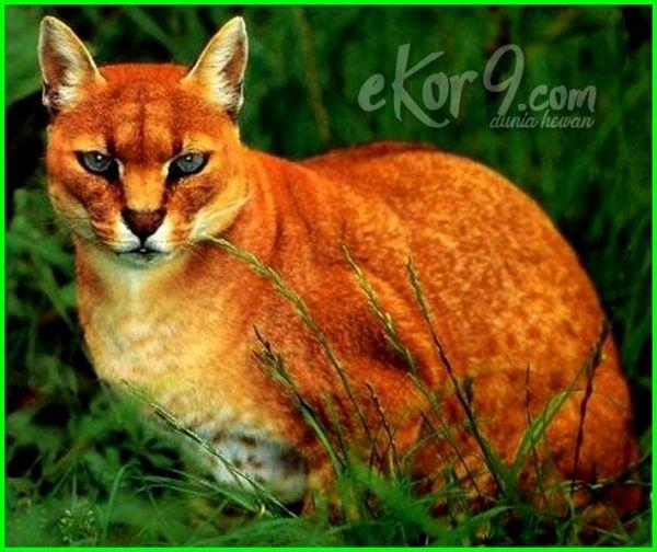 Kwikku, African Golden Cat