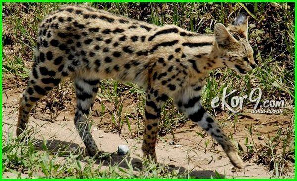 Kwikku, Serval Cat